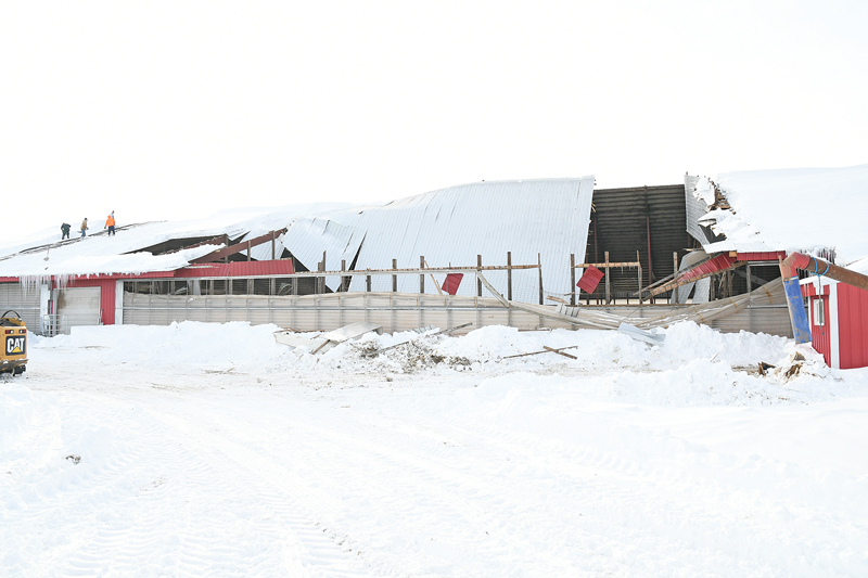 BARN ROOF COLLAPSES — A 60-foot by 120-foot section of the barn roof on the Clark Ridge Farm, located on County Highway F a few mile south of State Road 170 in the Town of Sherman, collapsed early Wednesday morning, February 13, killing 15 dairy cows and injuring others among the herd of 300 animals. A heavy snow load apparently caused the roof section to collapse undet the weight. The accident happened shortly before the morning milking was to take place. Family, firends and neighbors help removed the animals from the damaged section and helped clean up the debris and cleared snow, shoveling by hand, from the roof. —photo by Shawn DeWitt