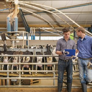 Farmers milking