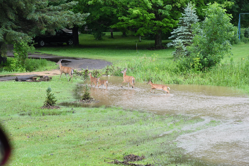 Area Flooding 067 Deer